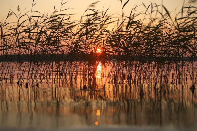 在芦苇的盛夏日落,反射在水在芬兰南部,Padva,拉塞博格 库存照片