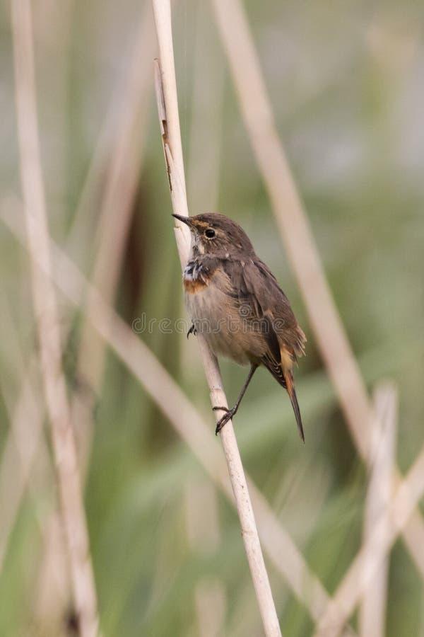 在芦苇的鸟 图库摄影
