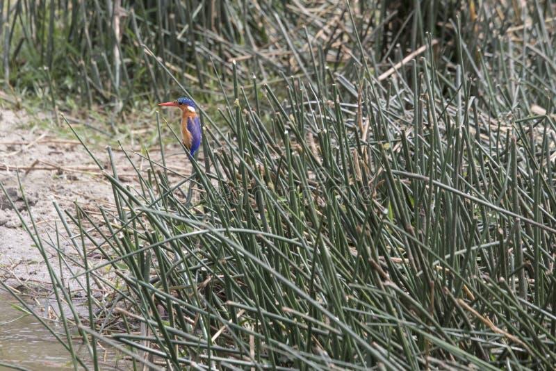 在芦苇的绿沸铜翠鸟, Kazinga海峡,女王伊丽莎白 库存图片