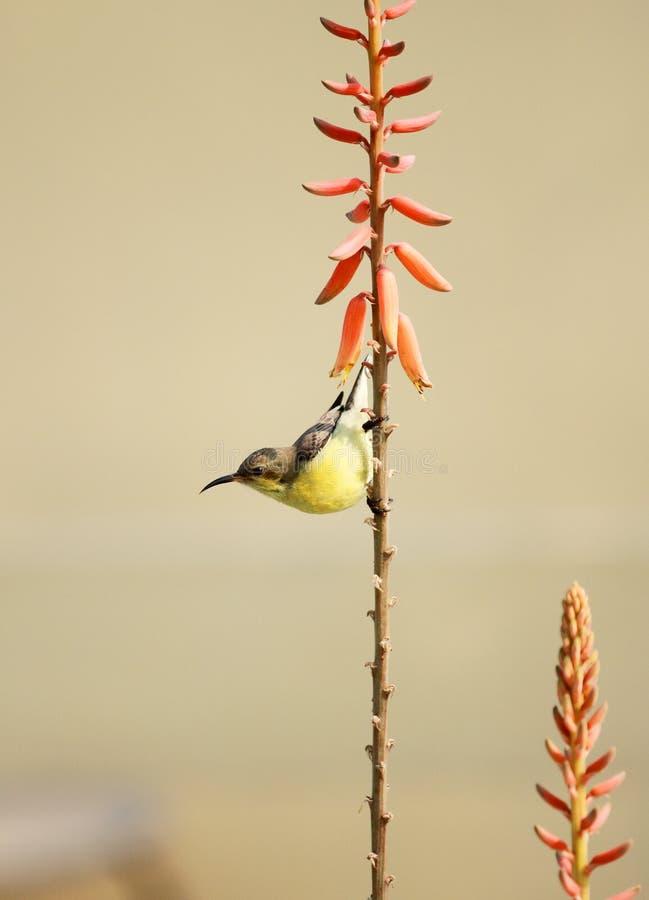 在芦荟维拉厂花的黄色Sunbird野生生物 免版税图库摄影
