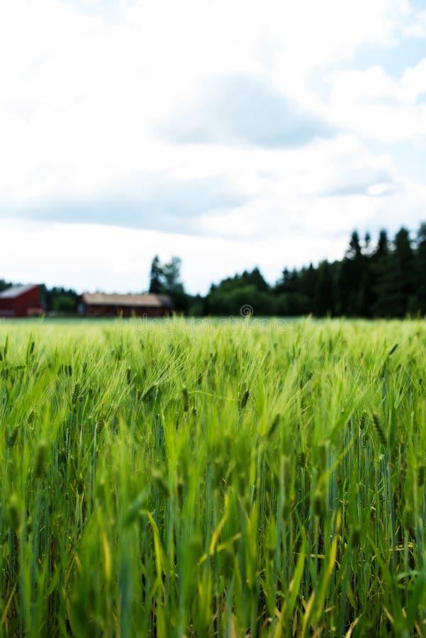 在芬兰农舍旁边的麦田,在植物的特写镜头 库存照片