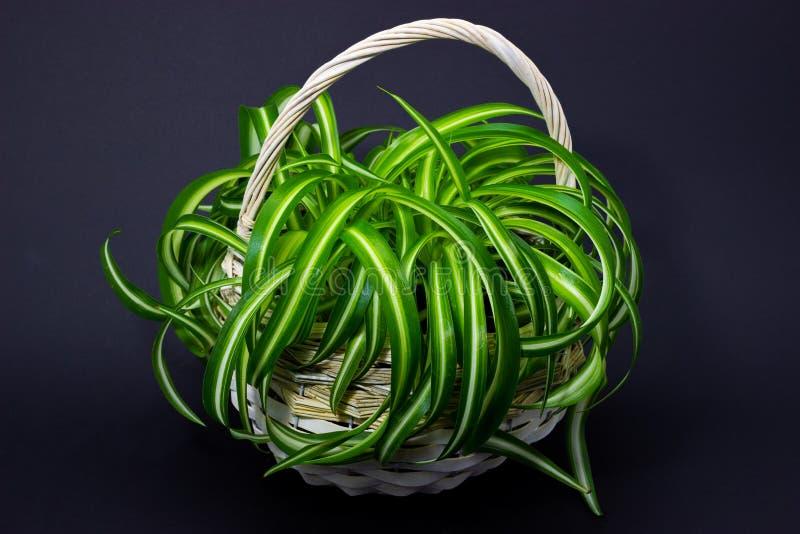 在花一个白色篮子的Chlorophytum在花盆的在黑暗的背景 免版税库存图片