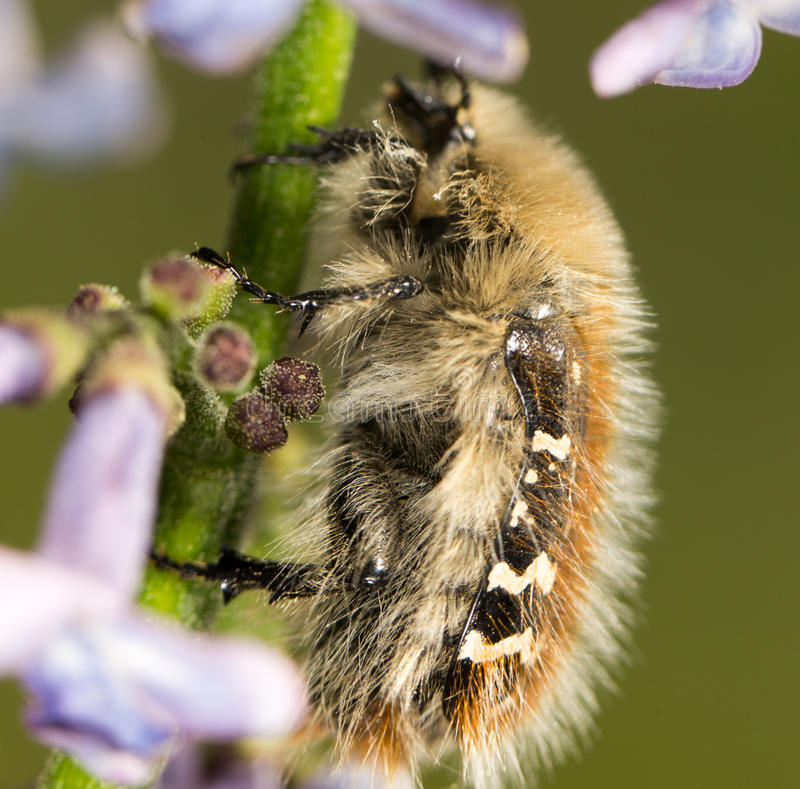 在花丁香的甲虫 关闭 免版税库存照片