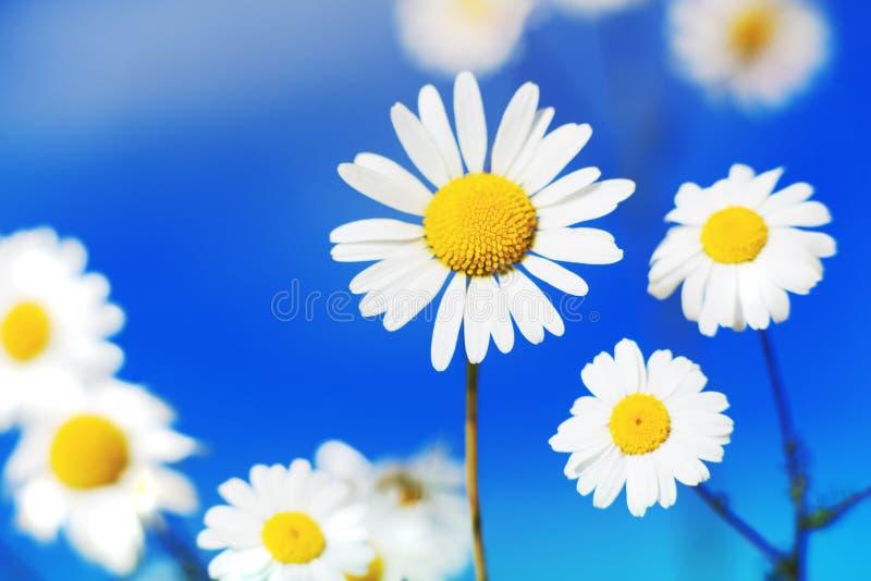在花中的春黄菊 图库摄影