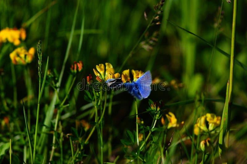 在花中的蝴蝶和草、领域和草甸 库存图片