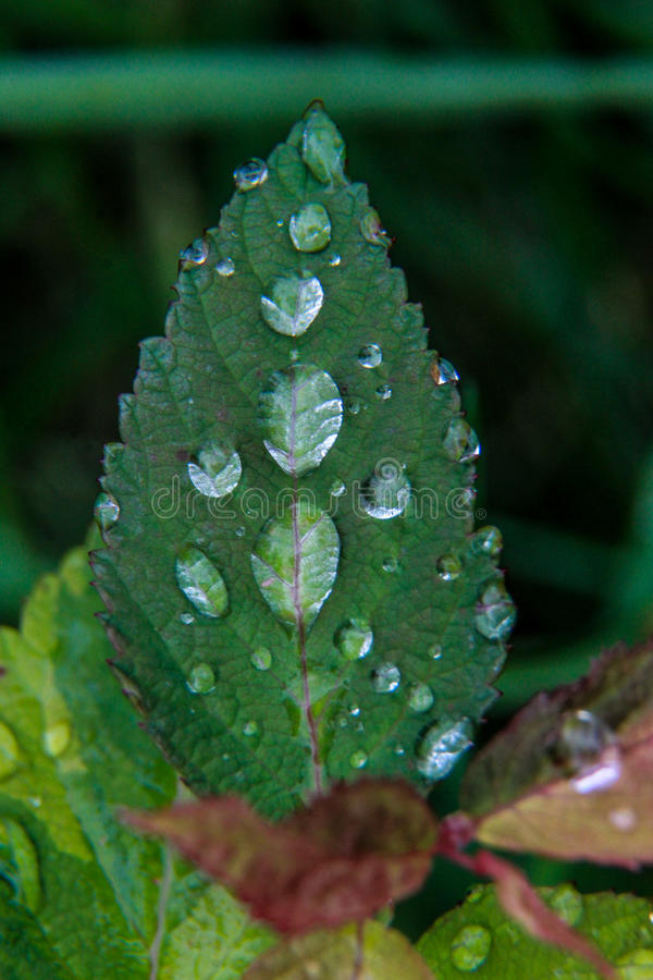 在花叶子的水泡影 库存照片