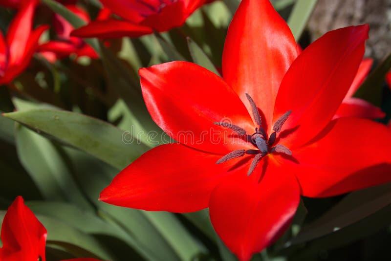 在花圃球状药草的新鲜的开花的红色郁金香开花 免版税库存图片