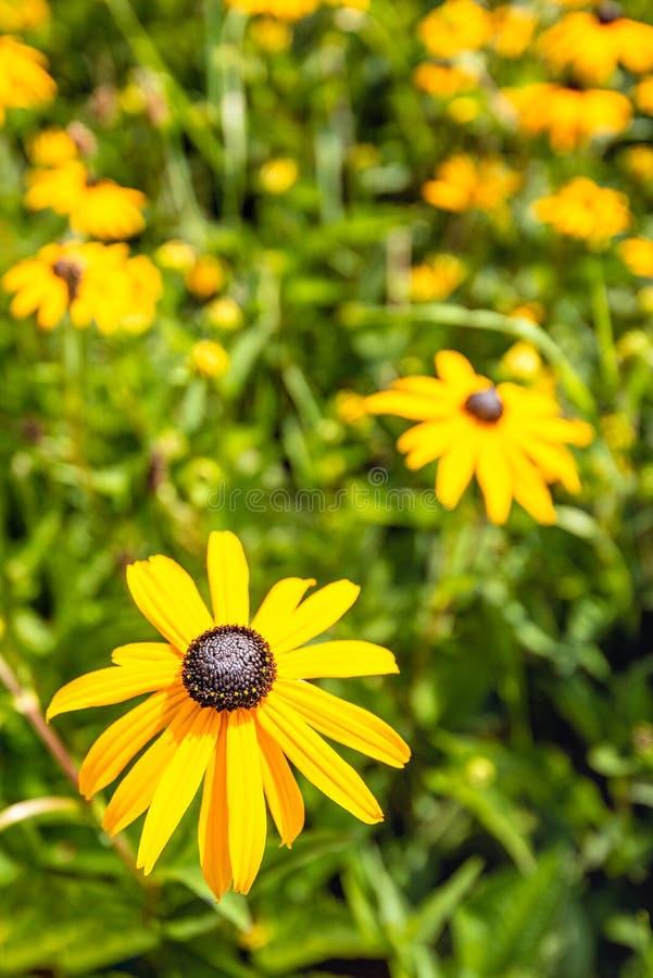 在花圃的前景的开花的黑眼睛的苏珊或黄金菊hirta 免版税库存图片