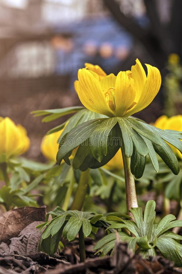 在花圃的年轻新鲜的射击花,柔和的光 黄色花,梦想浪漫春天,宏指令 免版税库存图片