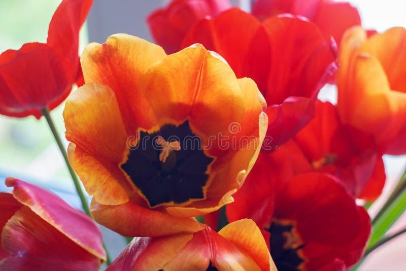 在花圃的橙色和红色郁金香 图库摄影