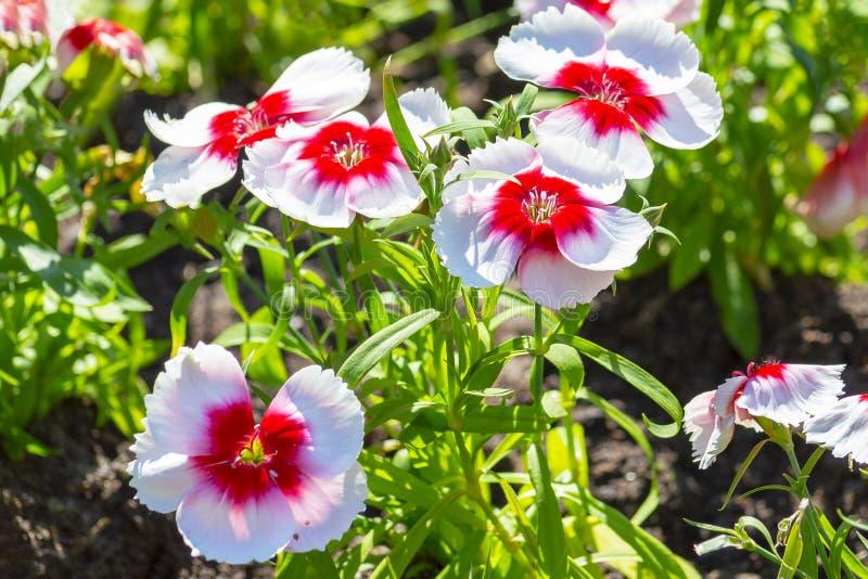 在花圃的红白的喇叭花花 免版税库存照片