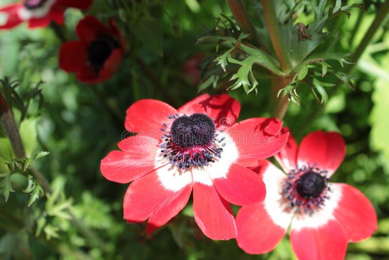 在花圃的红色银莲花属 免版税库存照片