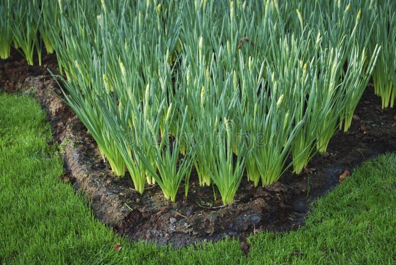 在花圃里增长的绿色闭合的黄水仙 库存图片