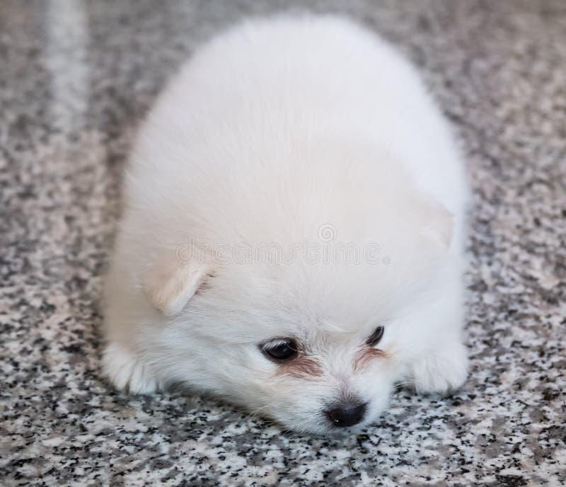 在花岗岩背景的逗人喜爱的白色pomeranian小狗 免版税库存图片