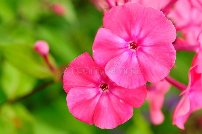 在花床上的桃红色福禄考花 库存图片