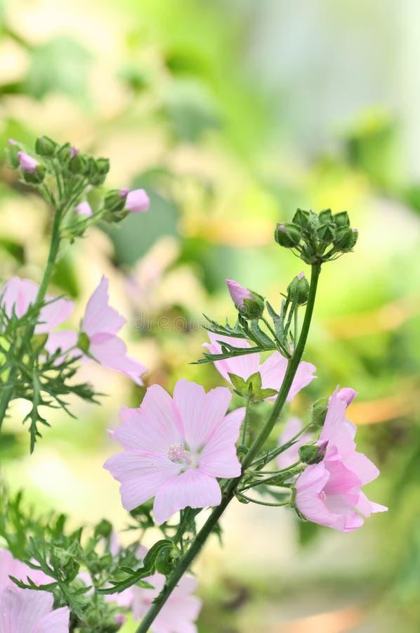 在花床上的桃红色锦葵属Moschata (黄葵)花 免版税库存图片