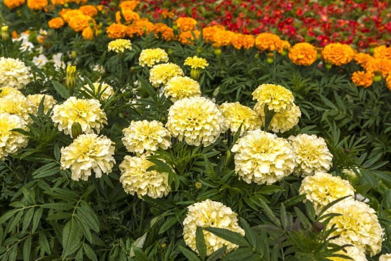 在花床上的白色和橙色万寿菊 有花的大草甸 免版税库存照片