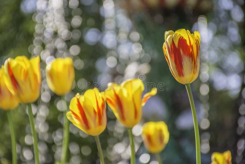 在花床上的红色和黄色郁金香 免版税库存照片