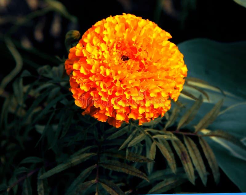 在花床上的美丽的橙色万寿菊 库存照片