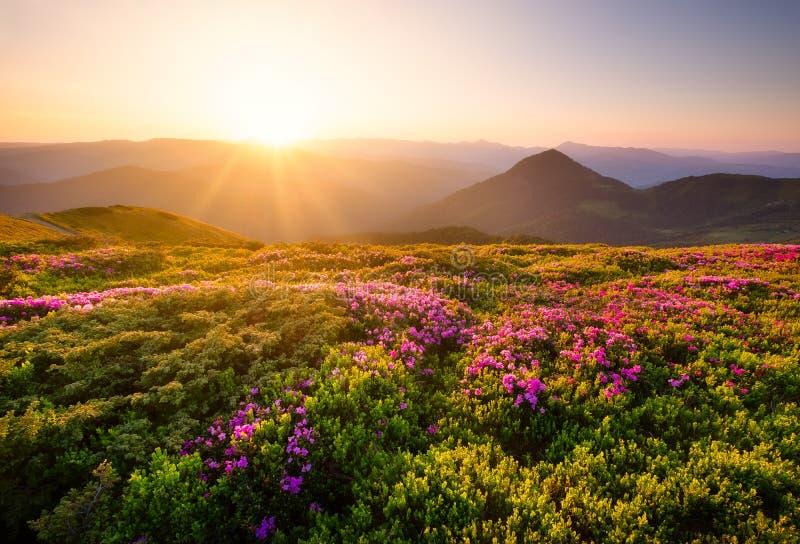 在花期间的山开花和日出 在山小山的花 在夏时的自然风景 ?? 免版税库存照片
