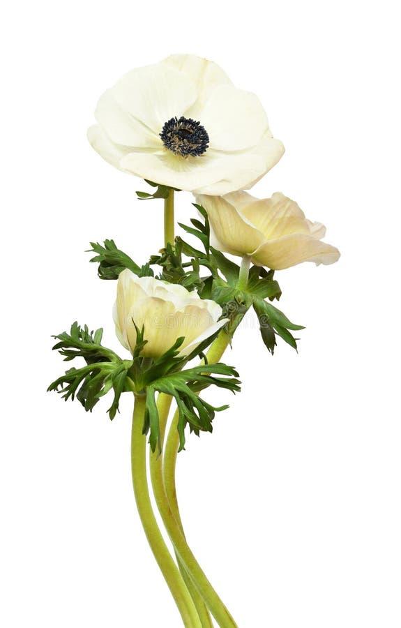 在花束的白色银莲花属花 免版税库存图片