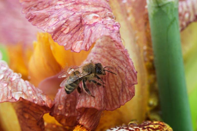 在花特写镜头的蜂蜜蜂 库存图片