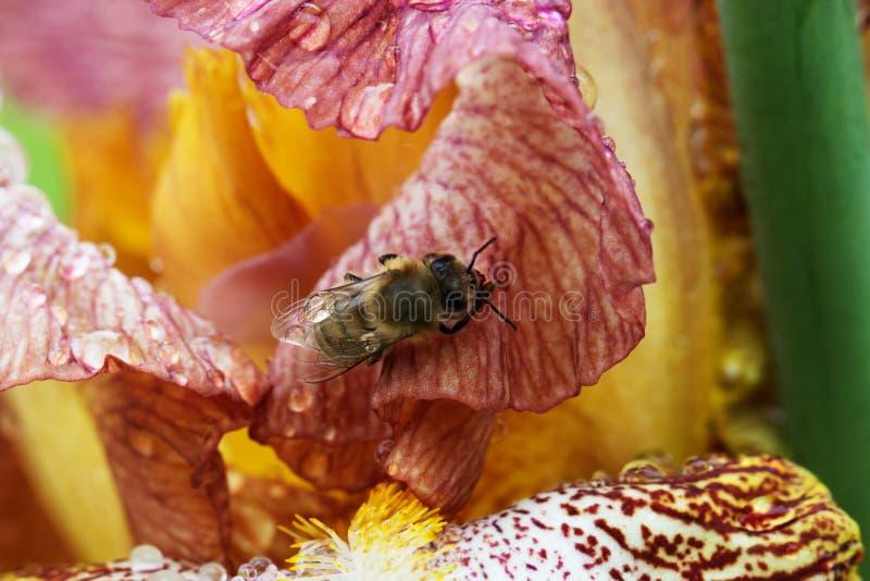 在花特写镜头的蜂蜜蜂 免版税库存图片