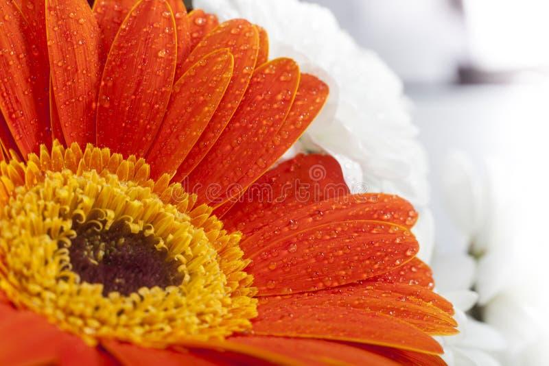 在花瓣的橙色大丁草特写镜头用水滴下 库存照片