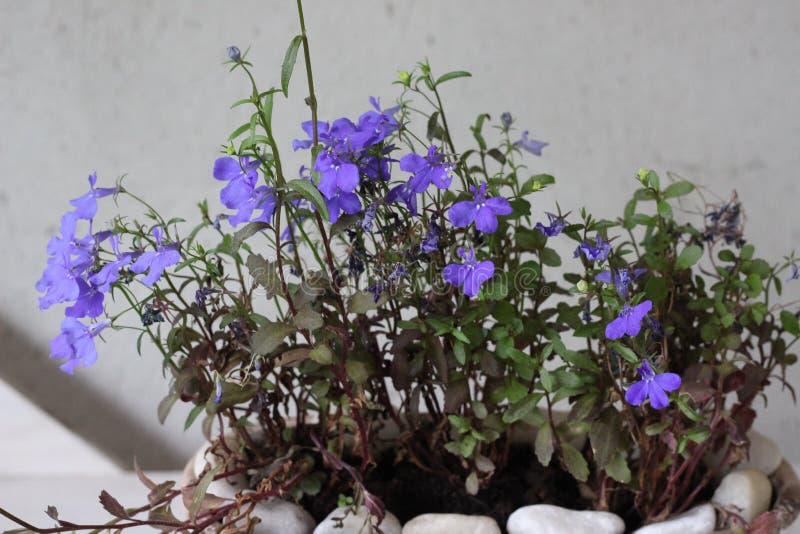 在花瓶的微小的紫色花 免版税图库摄影