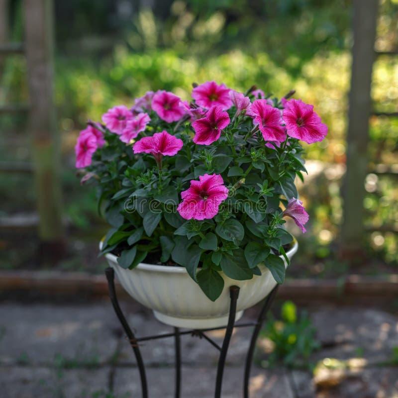 在花瓶的桃红色喇叭花花在庭院里 免版税库存照片