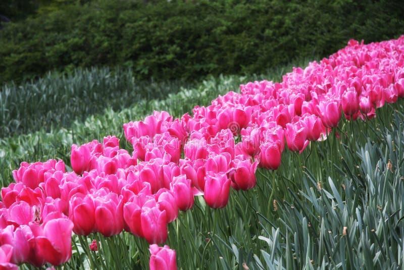 在花田的紫罗兰色郁金香 免版税库存照片