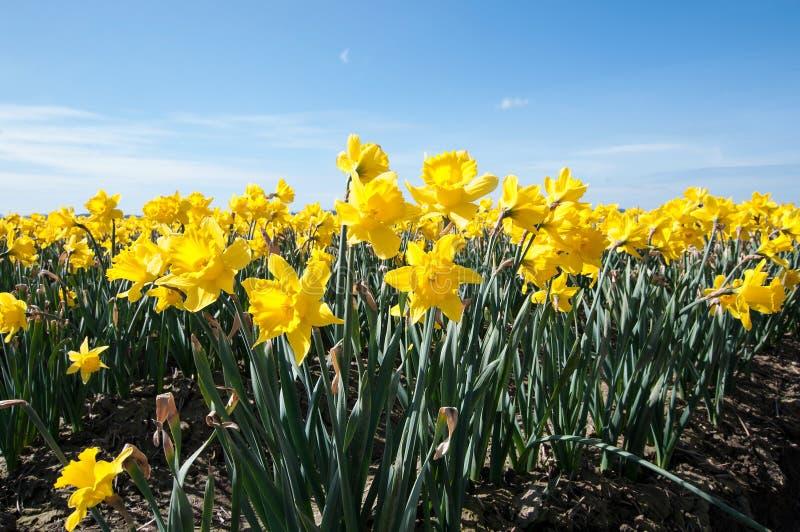 在花田风景斯卡吉特县Wa的黄水仙花 图库摄影