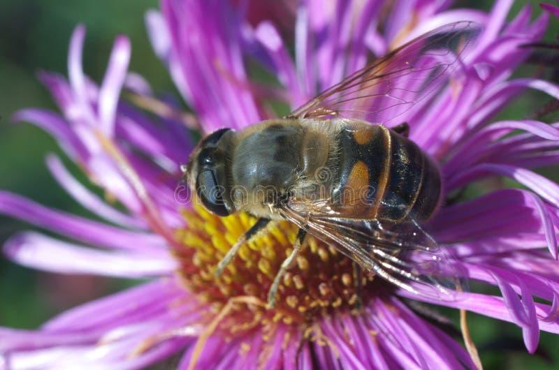 在花番红花的蜂 免版税库存图片