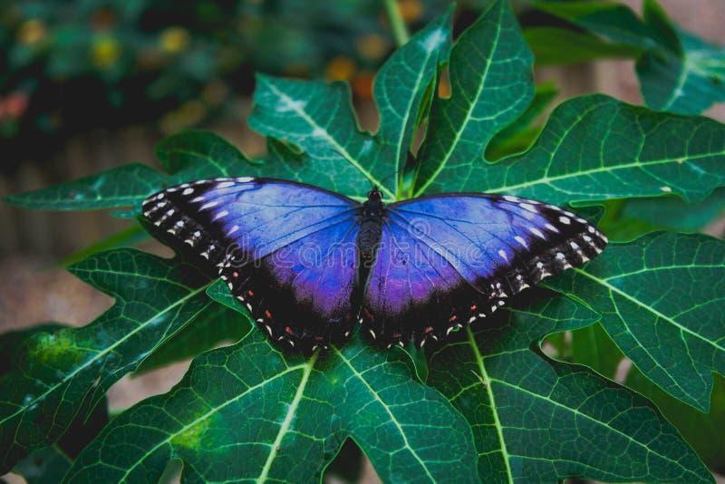 在花登陆的蓝色蝴蝶 库存照片