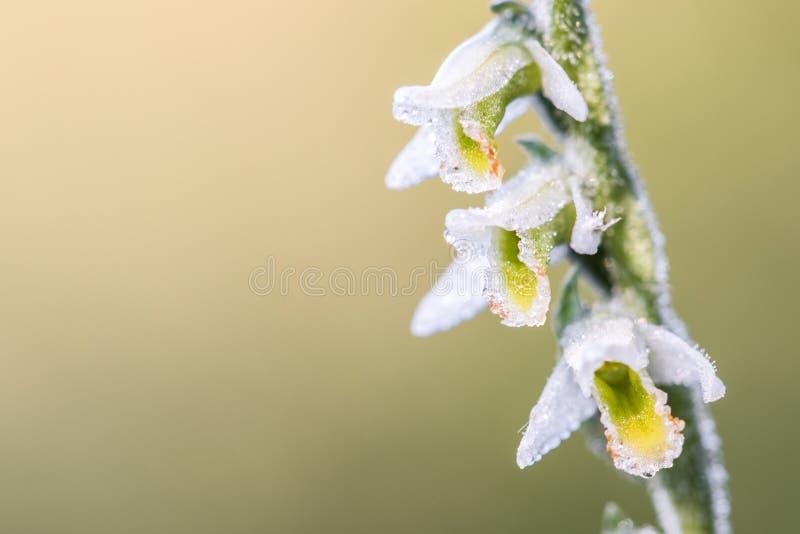 在花白花地兰spiralis的细节,一般叫作秋天l 库存图片