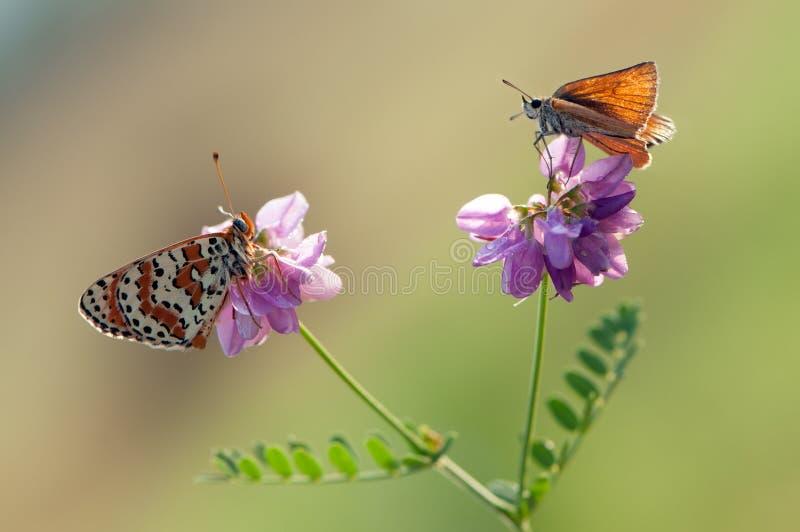 在花的两只蝴蝶及早等候黎明 库存照片
