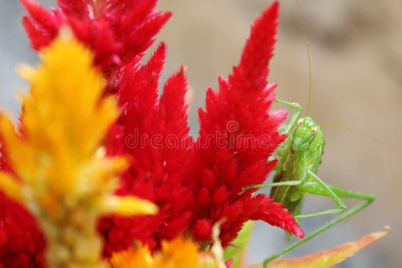 在花的偷看蚂蚱 免版税库存照片