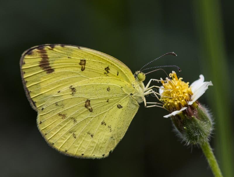 在花的共同的草黄色蝴蝶 免版税图库摄影