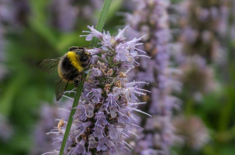 在花的土蜂