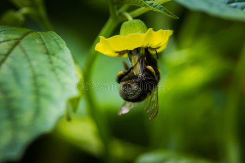 在豌豆花的土蜂