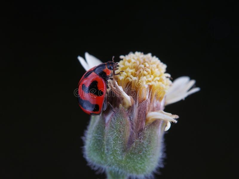 在花的夫人臭虫 库存图片