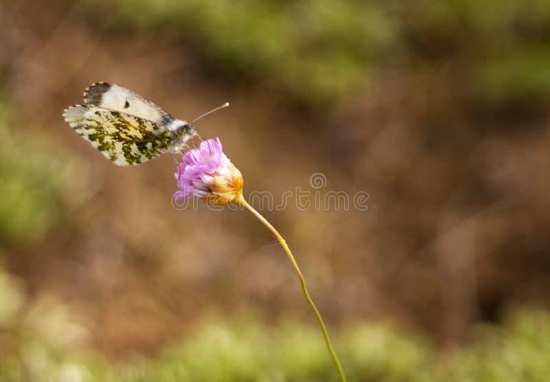 在花的孤独的蝴蝶有绿色和棕色背景 免版税库存照片