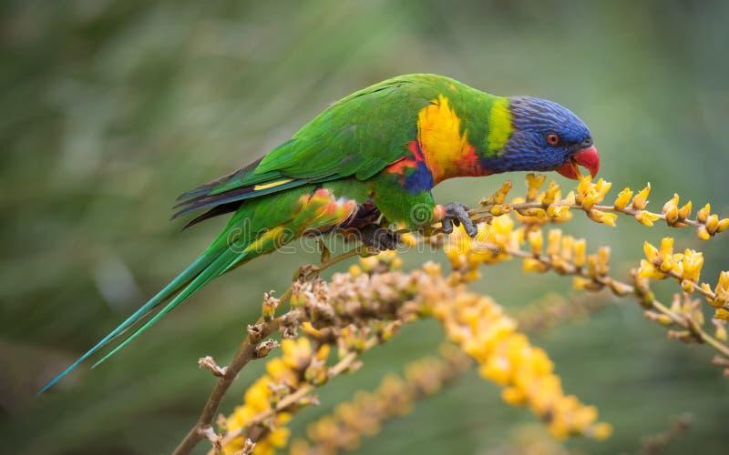 在花的彩虹Lorikeet 免版税库存照片