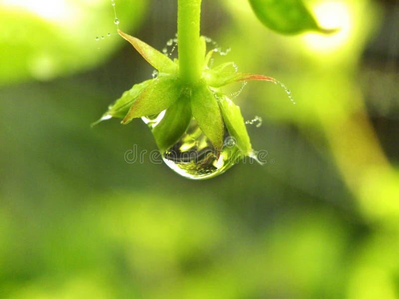 在花的水滴 免版税库存照片