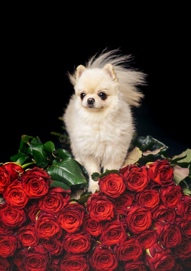 在花的狗 与玫瑰的浪漫小狗 免版税库存图片