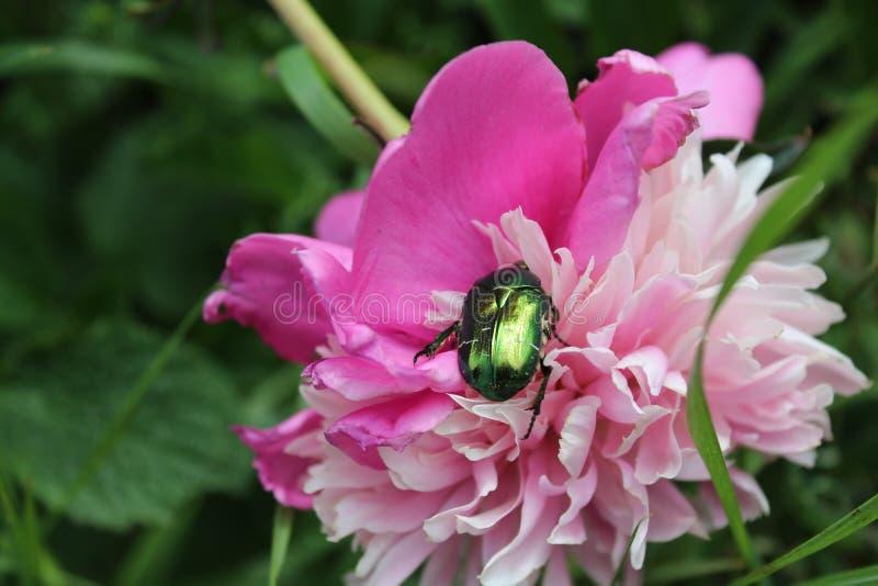 在花的甲虫 开花的桃红色牡丹 背景美丽的刀片花园 夏天开花 在庭院里 免版税库存图片