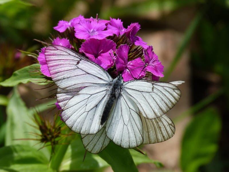 在花的白色蝴蝶 免版税库存照片