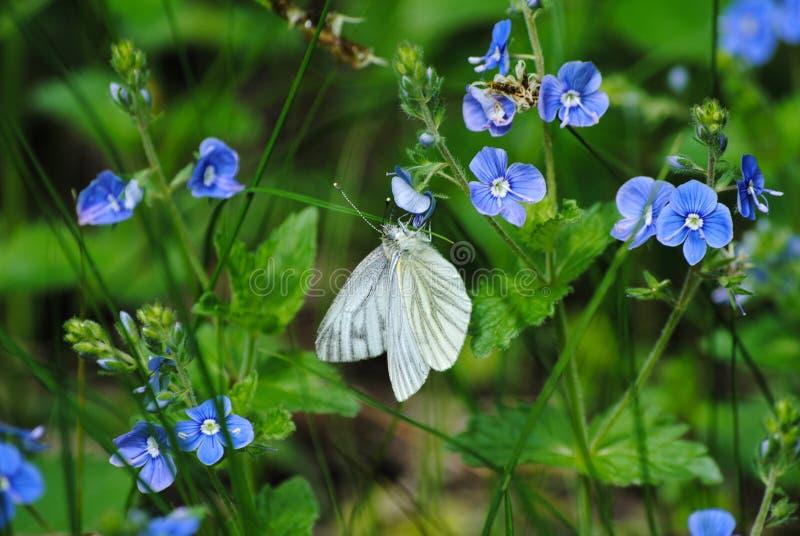 在花的白色蝴蝶 库存照片