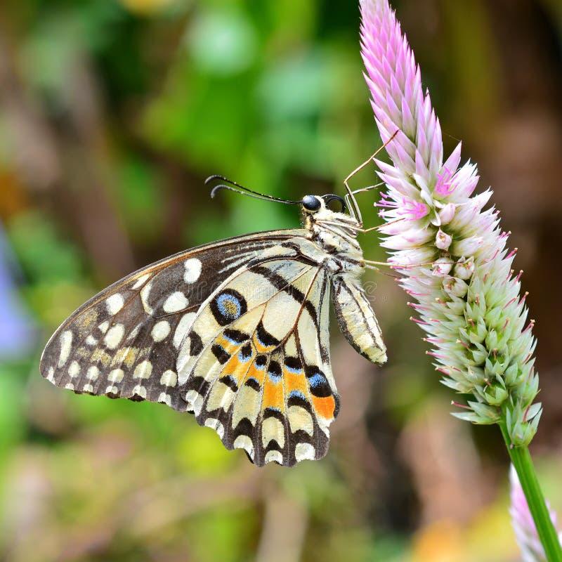 在花的石灰蝴蝶 免版税库存图片