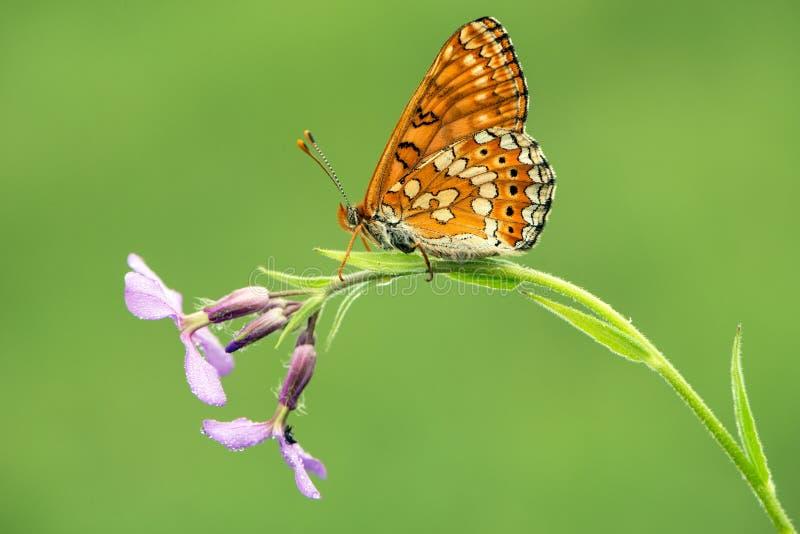 在花的美丽的蝴蝶梅利塔等候黎明清早 免版税库存照片